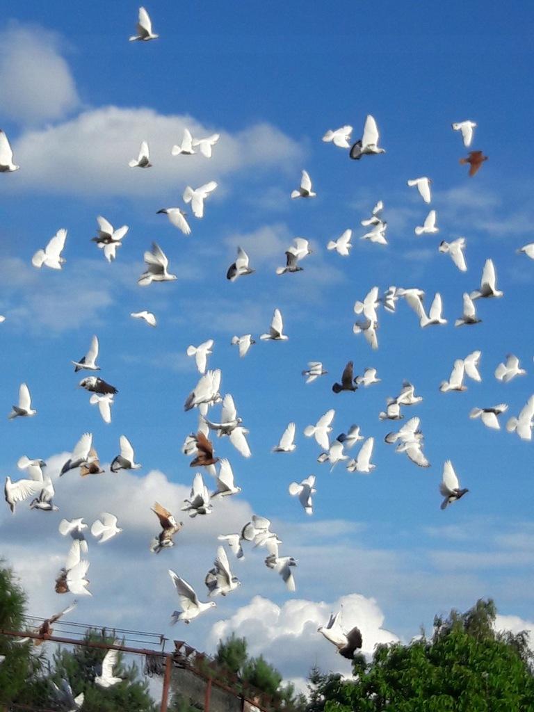 Gołębie różnej rasy