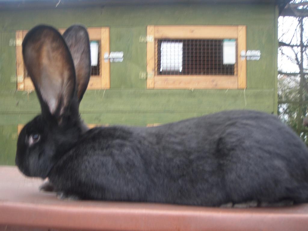 Olbrzym Belgijski Czarny BOC królik króliki