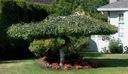 Brzoza płacząca Youngii 160-180cm P9 Roślina w postaci sadzonka w pojemniku 0,5-1l