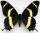 Papilio garamas samiec Meksyk 90mm16