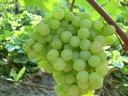Winorośl wczesna Arkadia art. nr 248