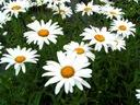 ZŁOCIEŃ WYSOKI-ulubiona roślina do ogrodu VII-VIII