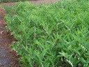KOKORYCZKA WONNA okrywowa roślina do ogrodu, V-VI