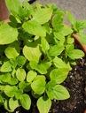 MAJERANEK  OGRODOWY  nasiona ziół zioła