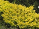Jałowiec Lime Glow sadzonka
