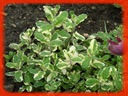 Mięta okrągłolista variegata_ SADZONKI + GRATIS