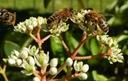 WYBITNIE MIODODAJNA Ewodia  koreańska  Bee bee tre