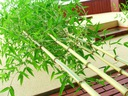 Phyllostachys Mrozoodporny Bambus 25 cm