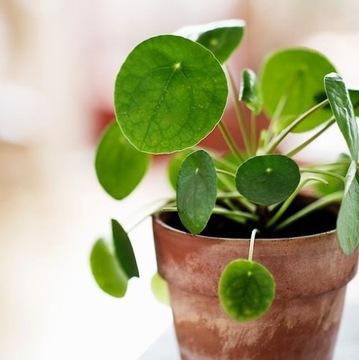 Pilea peperomioides - растение монетку доставка товаров из Польши и Allegro на русском