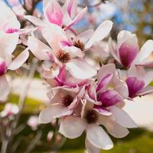 Magnolia - odmiany i uprawa w polskich warunkach