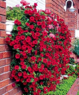 Образ в цветочные шар НА БАЛКОН ПЕТУНИЯ красная .