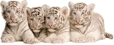 NÁLEPKY NA STENY TIGER Tigers 18 100x40 cm