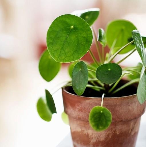 Pilea peperomioides - roślina pieniążek